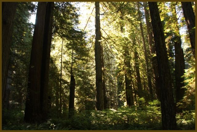 Stout redwood trees
